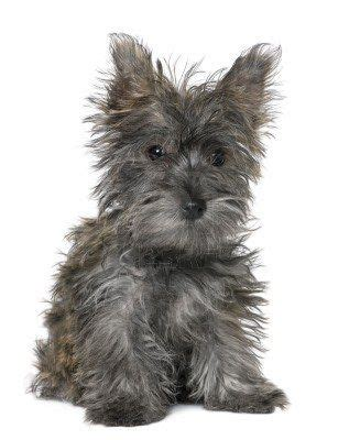 white mini yorkie white terrier miniature schnauzer mix search dogs and animals and