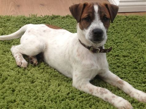 parson puppies for sale parson for sale 7momths morpeth northumberland pets4homes