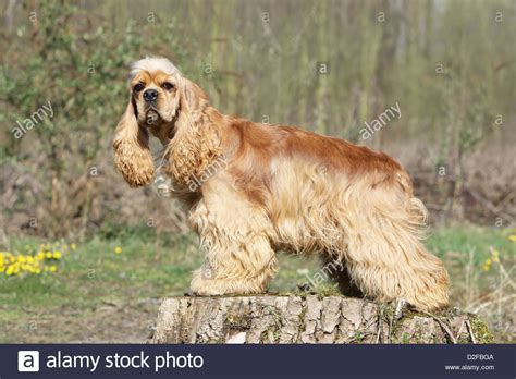 Dog American Cocker Spaniel adult (golden) standard ...