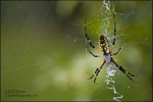 Garden Spider Name Black And Yellow Garden Spider Carolina Footprints