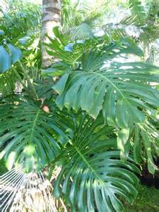 what tropical plants are for sale at exotica tropicals - Tropical Plants For Sale In Florida