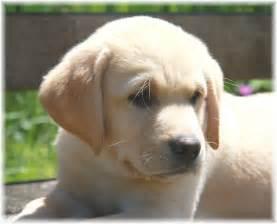 Lab Puppies Labrador Puppies
