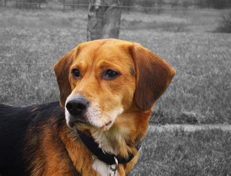 labrador puppies craigslist beagle lab mix puppies craigslist 4k wallpapers