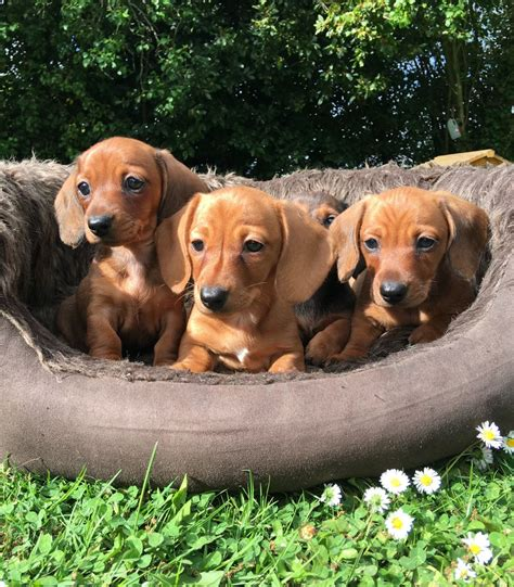 dachshund puppies az dachshund puppies for sale az 207093 petzlover