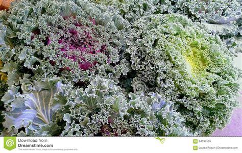 flowering kale stock photo image 64297520