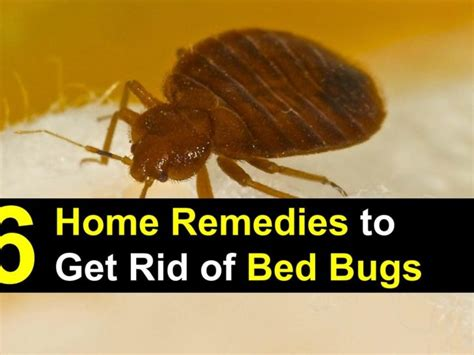 home remedies  bed bugs bed bug control    rid  bed bugs home remedies wwwe