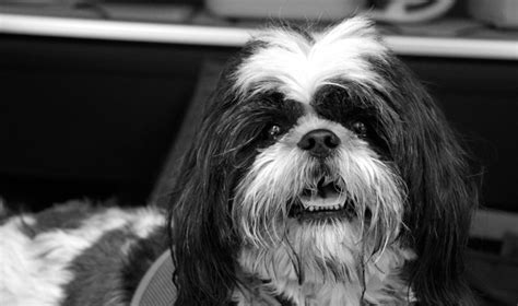 black and white shih tzu 28 best black and white shih tzu pictures