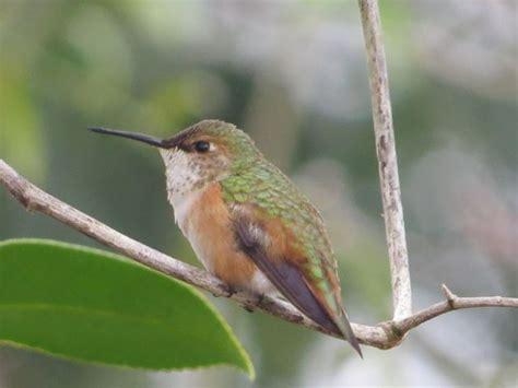 rufous allen s hummingbird
