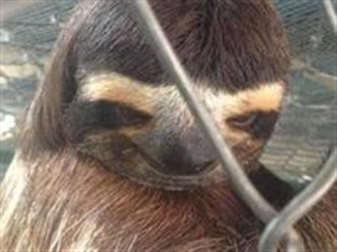 Sloth Meme Asthma - creepy sloth on pinterest creepy sloth sloths and wood