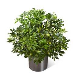 Usa Flowers Delivery - schefflera arboricola at send flowers