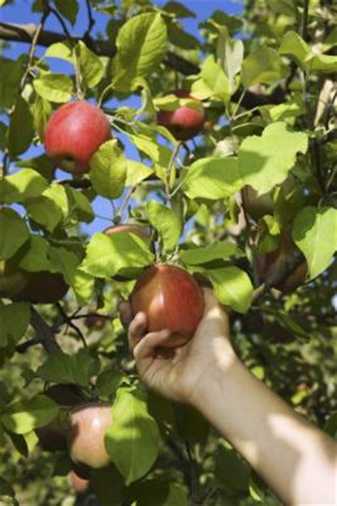 cross pollination fruit trees a plan for fruit tree cross pollination home