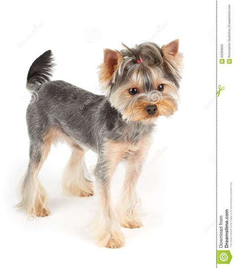 yorkie white hair yorkie stands on white stock photo image 60283600