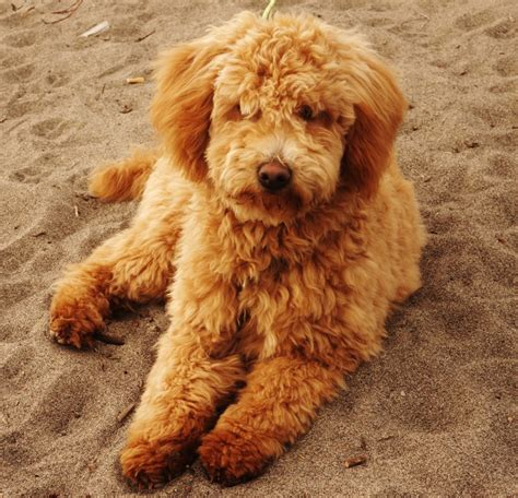 mini goldendoodle weight lola photo