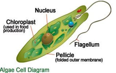 algal cell diagram http www uvcomparison images science euglenasalgae