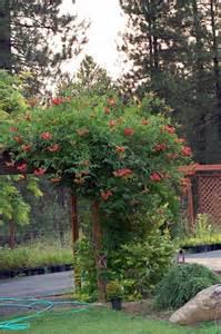 trumpet vine trellis 43 best images about trumpet vines on csis