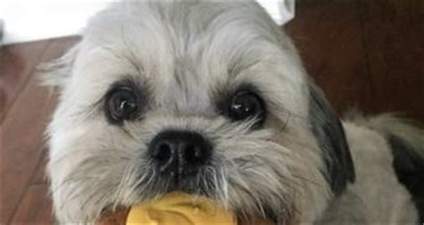 shih tzu won t eat food food diet shih tzu