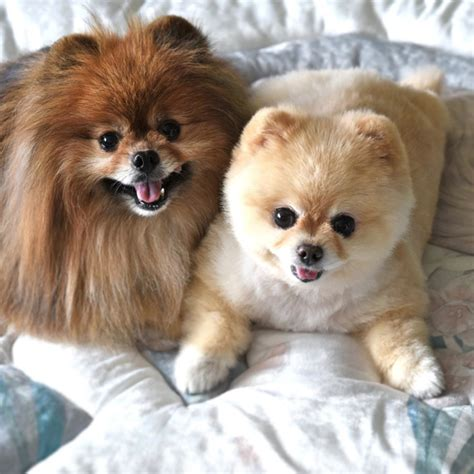 pomeranian traits 28 pomeranian traits every pom parent will recognise