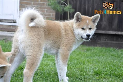 akita inu puppies for sale japanese akita inu puppy for sale derby derbyshire pets4homes