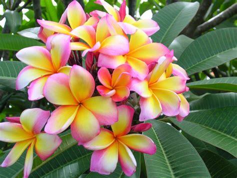 plumeria colors plumeria by florida colors aussie confetti plumeria 30