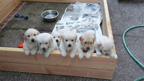 golden retriever breeders oregon golden retriever puppies eugene oregon dogs our friends photo