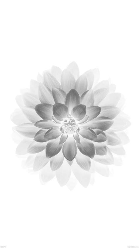 wallpaper for iphone 6 plus flowers apple white lotus iphone6 plus ios8 flower iphone 6