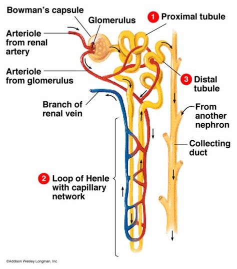 diagram of the nephron gallery nephron diagram labeled renal corpuscle