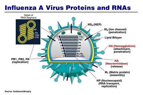 influenza na protein seasonal and pandemic influenza vaccines ppt