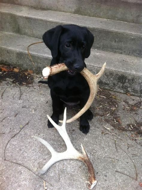 Black Lab Shedding black lab puppy this is a quot shed quot shed