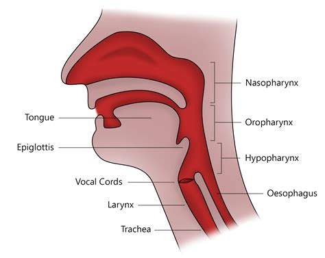 intubation diagram airway anatomy diagram geoface f373b3e5578e
