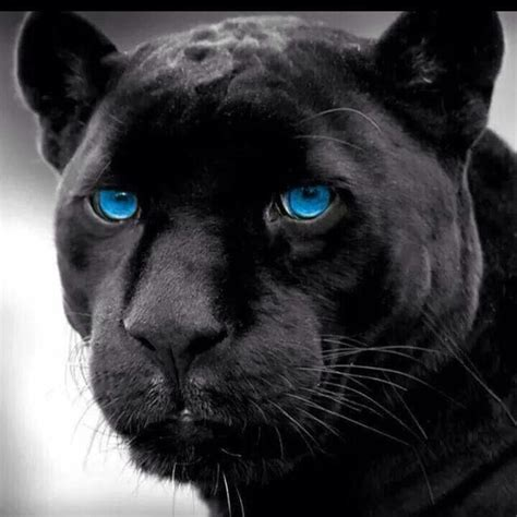 Black Panthers Also Search For 25 Best Ideas About Panthers On Black Panther Cat Panther And Baby