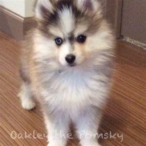 pomeranian husky rescue 37 best images about oakley the pomsky on