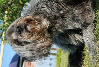 best food for itchy yorkie 17 best images about max on allergies shoo and for dogs