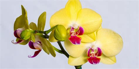 orchids facts 100 orchids facts cooktown orchid