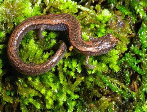 Plethodontidae - Lungless Salamanders | Wildlife Journal ... Arboreal Thorius