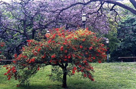imagenes de flores uruguay hoy el ceibo o seibo la flor nacional de la rep 250 blica