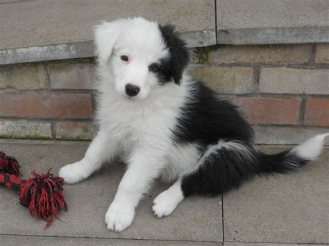 border collie puppies for sale kc registered border collie puppy for sale