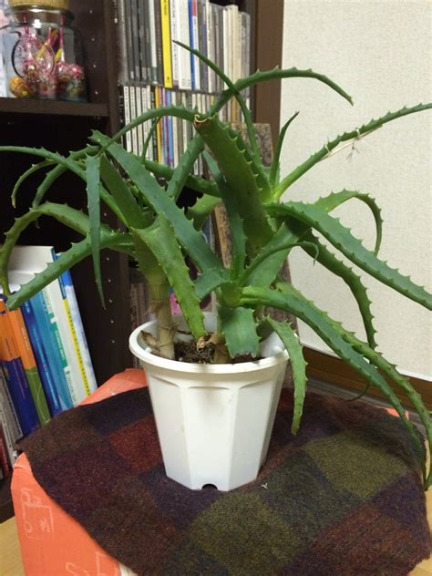 Rempoter Aloe Vera by Besoin De Conseils Pour Mon Aloe Vera Rempotage