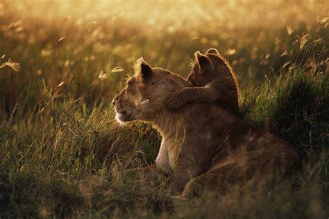 imagenes de leones para portada de facebook fondo escritorio leona y cachorro