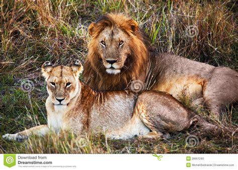 imagenes de leones macho y hembra mannelijke leeuw en vrouwelijke leeuw safari in serengeti