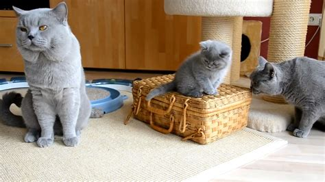 British Shorthair Cat Pictures and Information   Cat