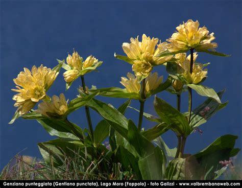 genziana fiore fiori di montagna orobie
