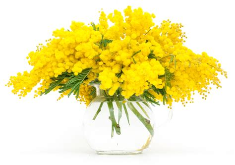 foto mimosa fiore linguaggio dei fiori la mimosa il galateo dei fiori