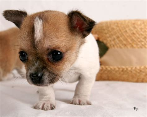 how to potty a chihuahua puppy secrets to potty a
