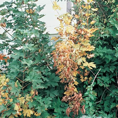 maple tree wilting leaves verticillium wilt acer maple box elder ortho