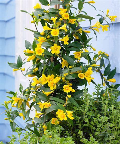 gelsomino giallo in vaso acquista gelsomino della carolina bakker
