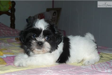 black and white shih tzu puppies for sale maltese shih tzu puppies for sale quotes