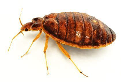 Bed Bug Exterminator Nyc Bronx