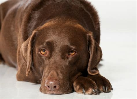 kidney infection in dogs bacterial infection pyelonephritis of the kidneys in dogs petmd