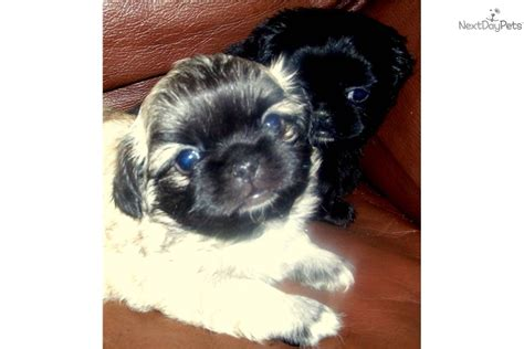 pekingese puppies for sale in florida pekingese dogs puppies names breeds and grooming breeds picture