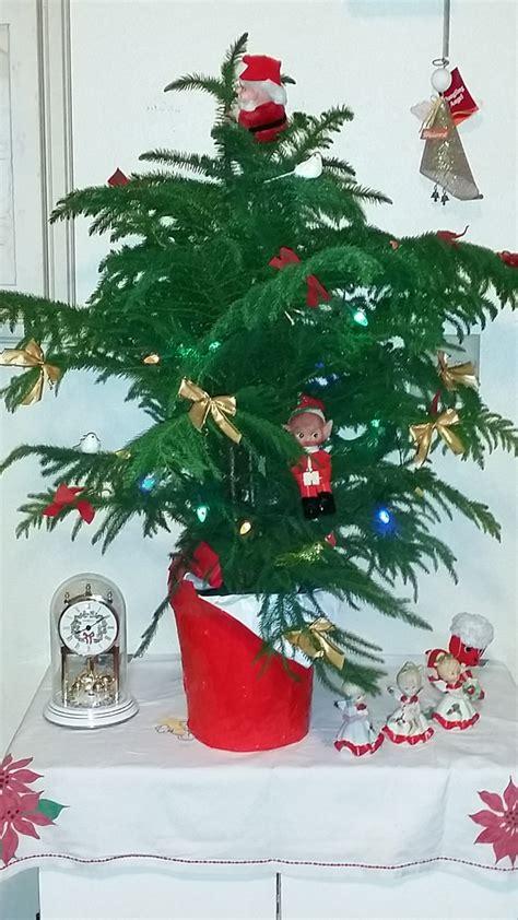 christmas tree norfolk island pine araucaria heterophyll